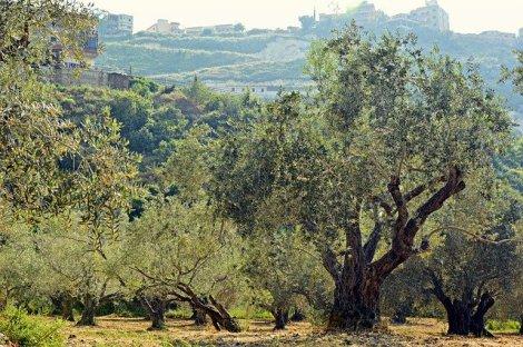 olive-trees-4253749_640
